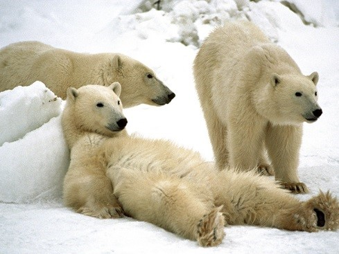 "Polar bears ""chilling"" in Churchill, Manitoba Province, Canada.  This wonderful photo comes from the National Geographic Society website (http://travel.nationalgeographic.com/travel/canada/churchill-manitoba/)"